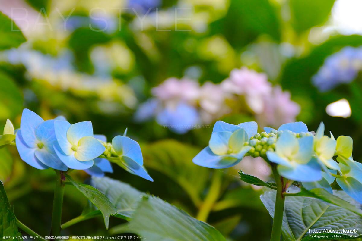 黄色と水色の花びらがとても綺麗なあじさい