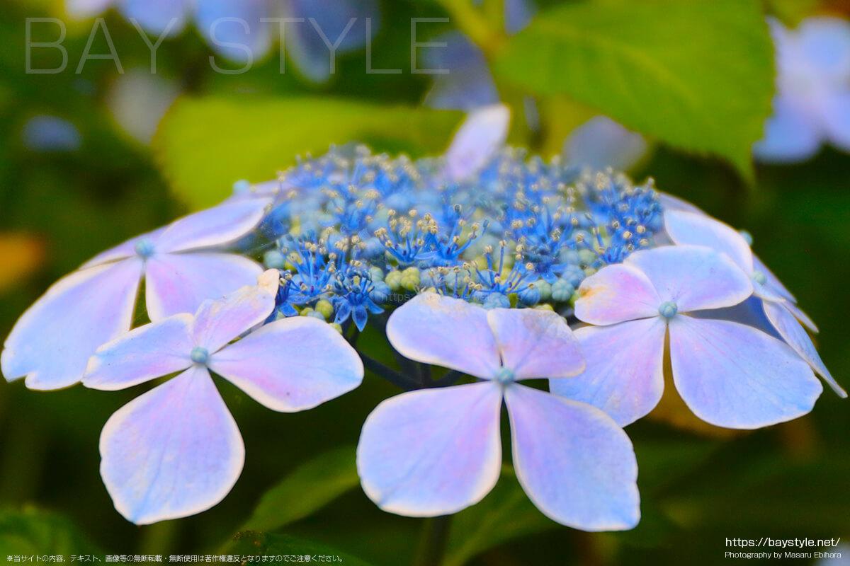 あじさいはグラデーションがとても綺麗な花