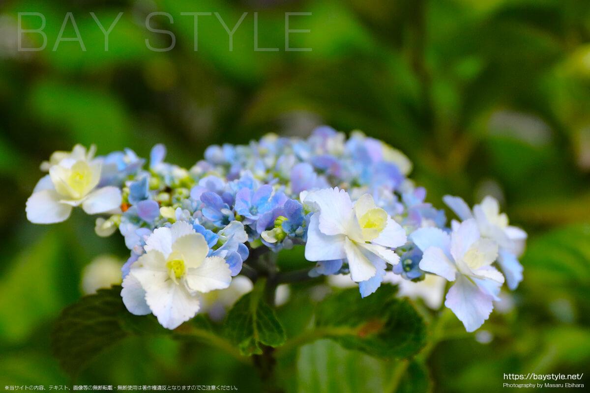 白と水色のグラデーションが綺麗なあじさいの花