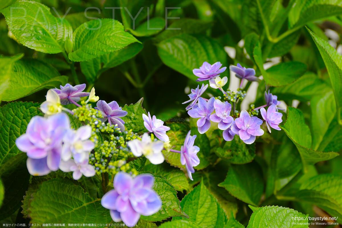 薄紫が綺麗ながくあじさい