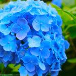 ブルーの花びらがとても綺麗な姫あじさい