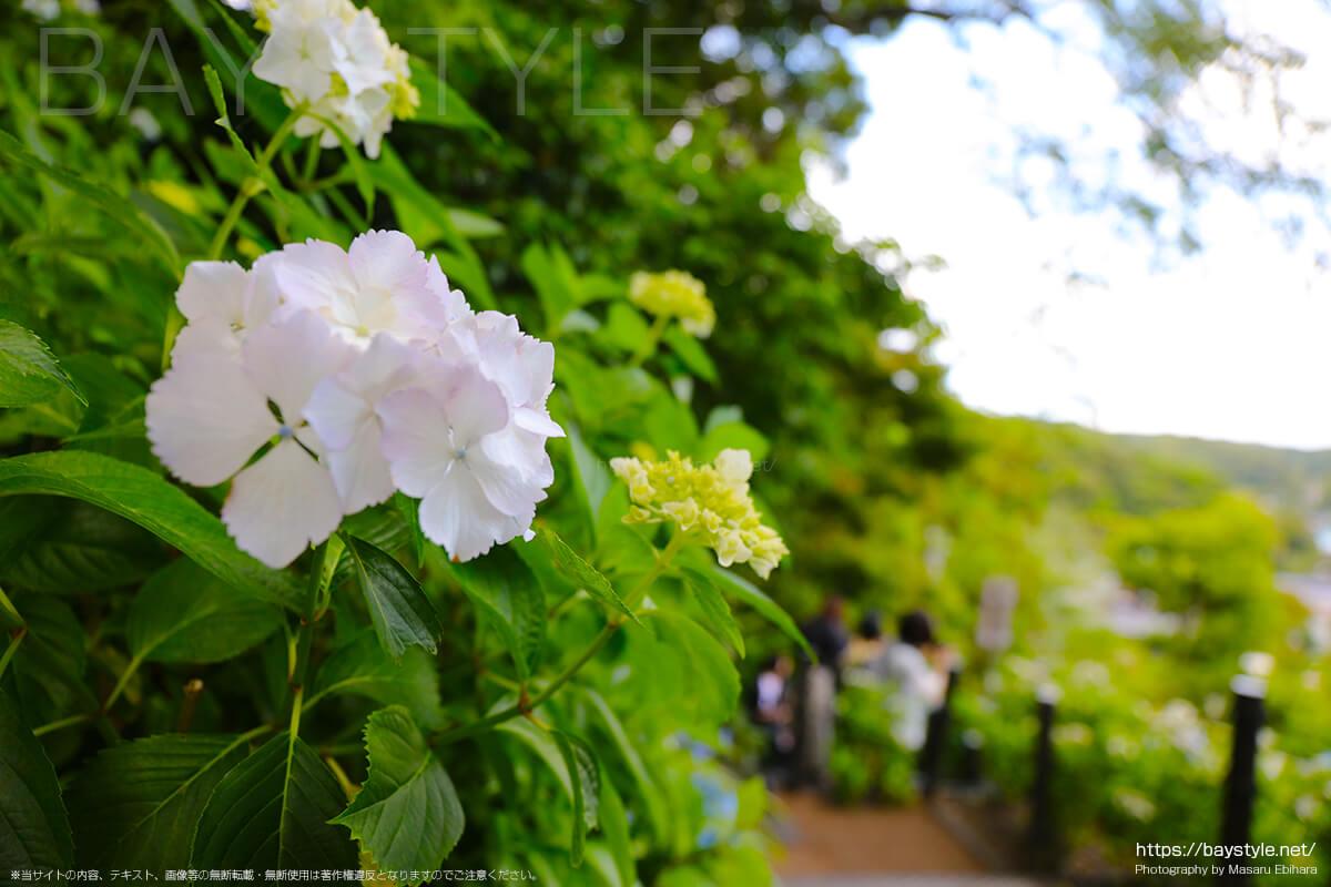 白い花びらが綺麗なあじさい