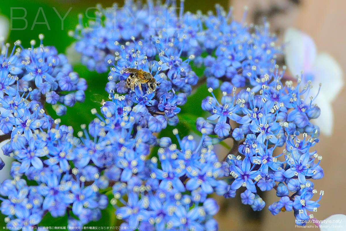あじさいの上にいる蜂