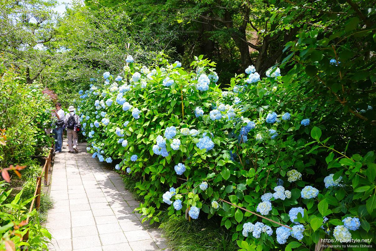 枯山水庭園周辺に咲くあじさい