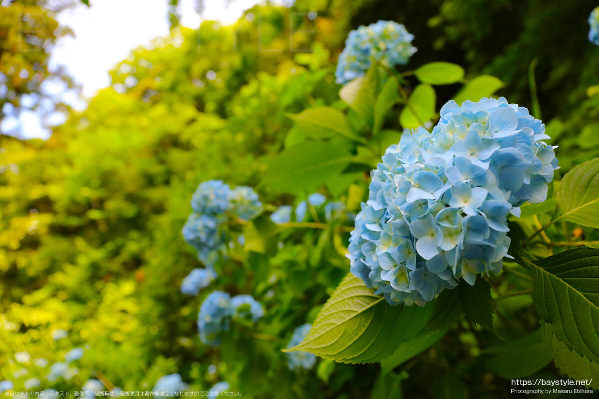 休憩所前から開山堂へと続く道に咲くあじさい