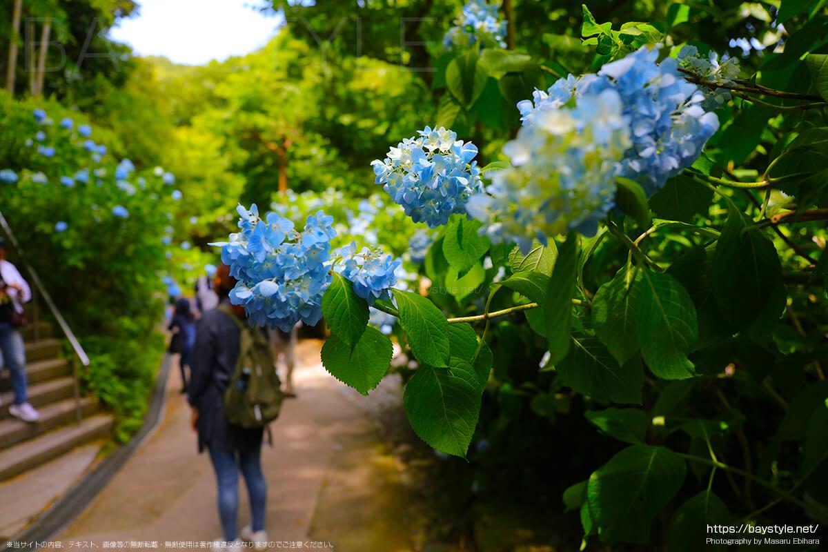 竹林前の車道に咲くあじさい