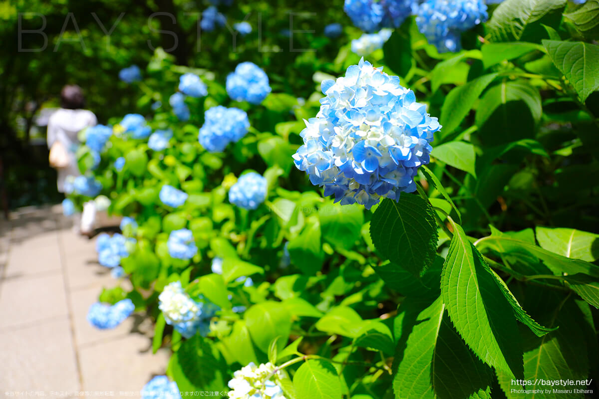 6月1日に撮影した明月院の表参道手前の通路に咲くあじさい
