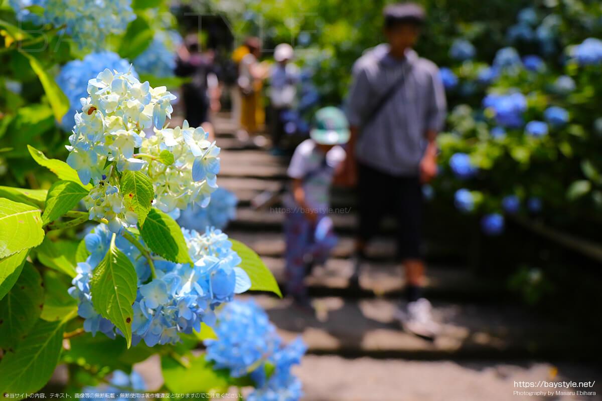 6月1日に撮影した明月院表参道のあじさい