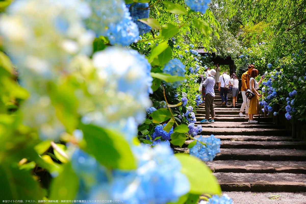 6月1日に撮影した明月院の表参道のあじさい