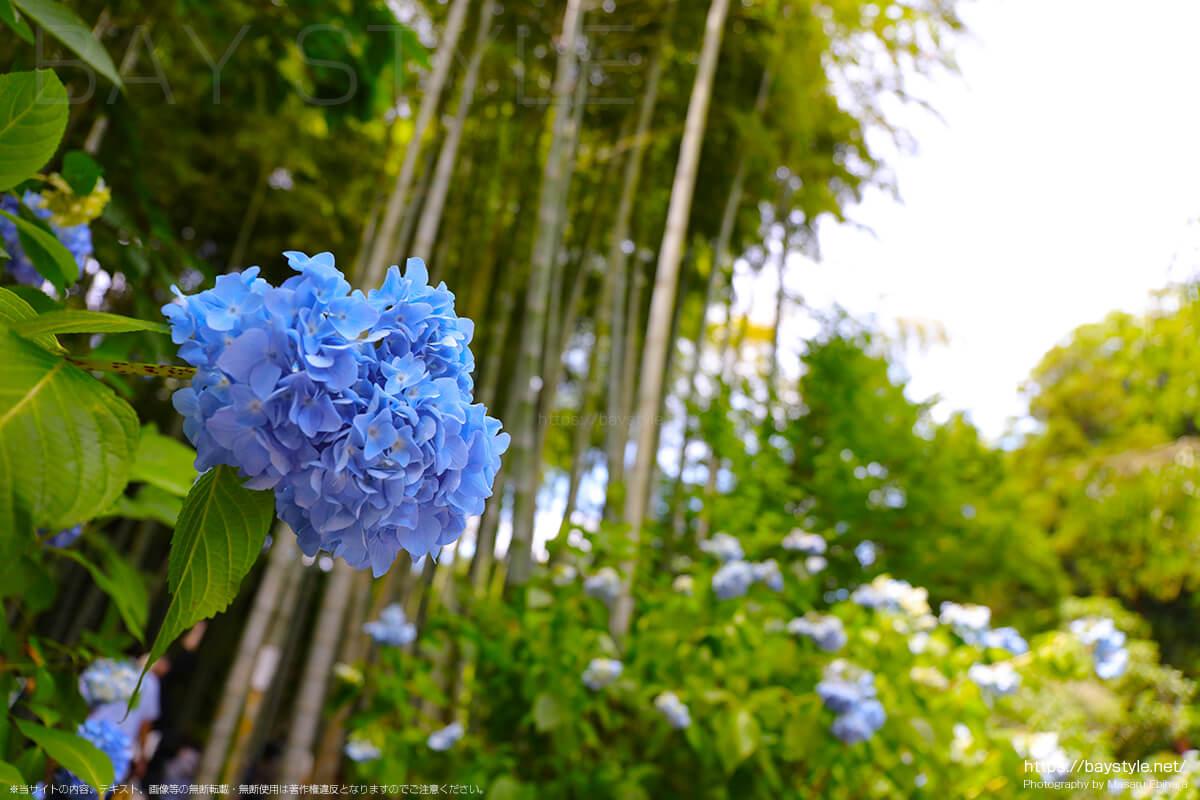 竹林付近に咲くあじさい