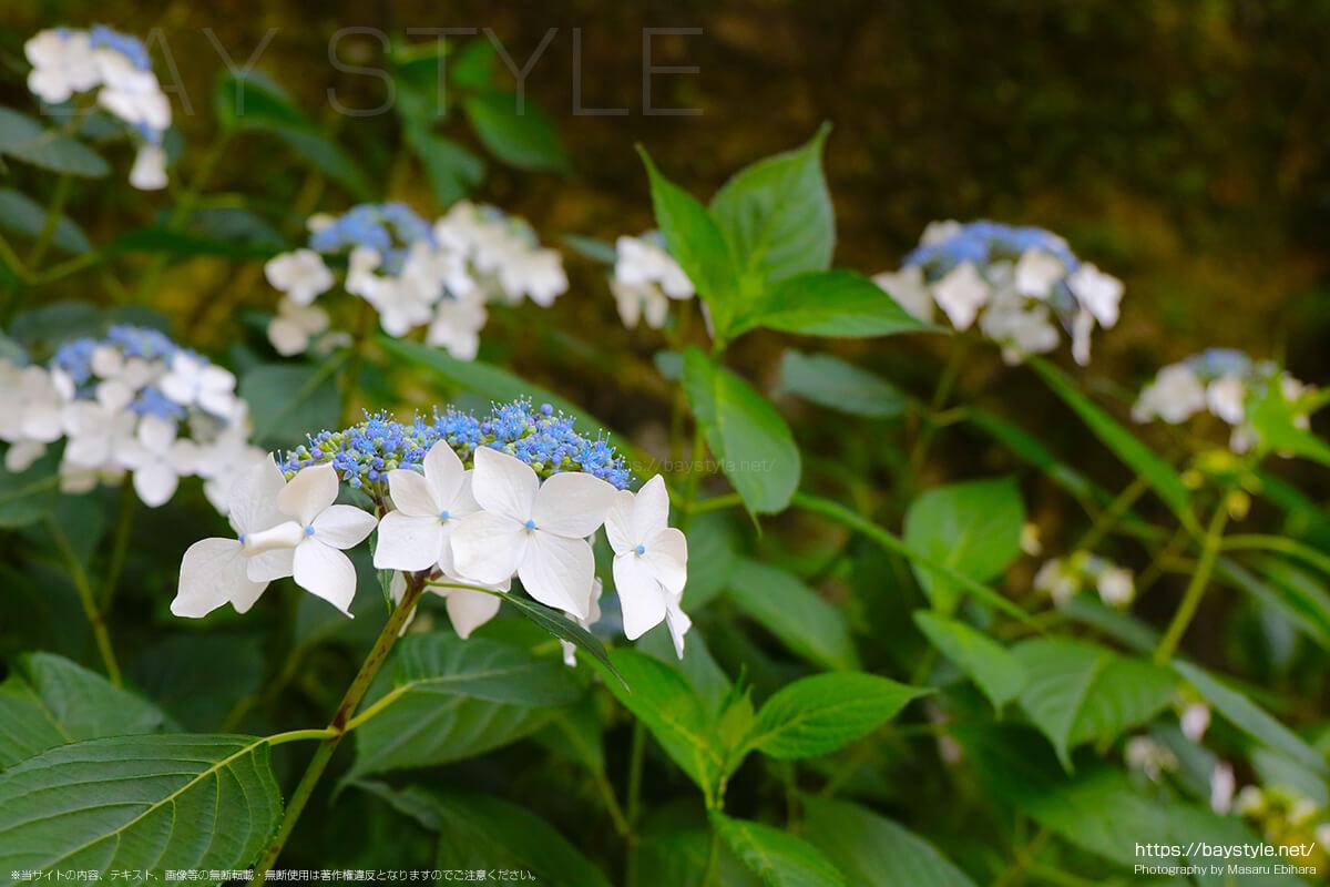 竹林の山門側寄りで咲くがくあじさい