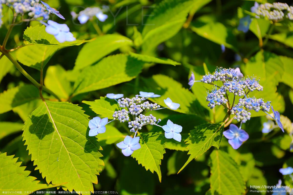 休憩所前付近に咲くがくあじさい