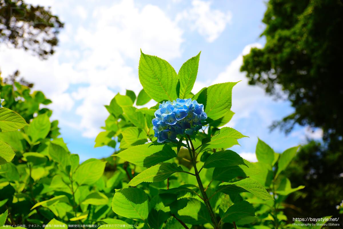 休憩所前付近に咲くあじさい