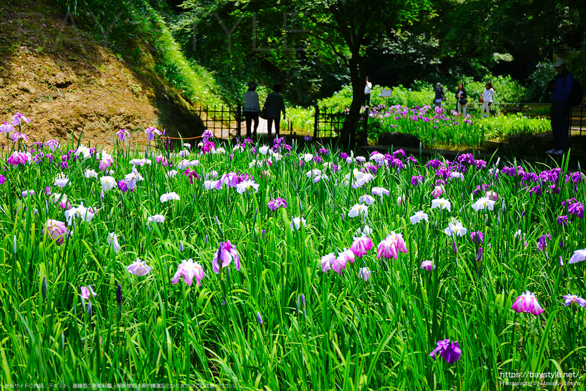 後庭園のハナショウブ