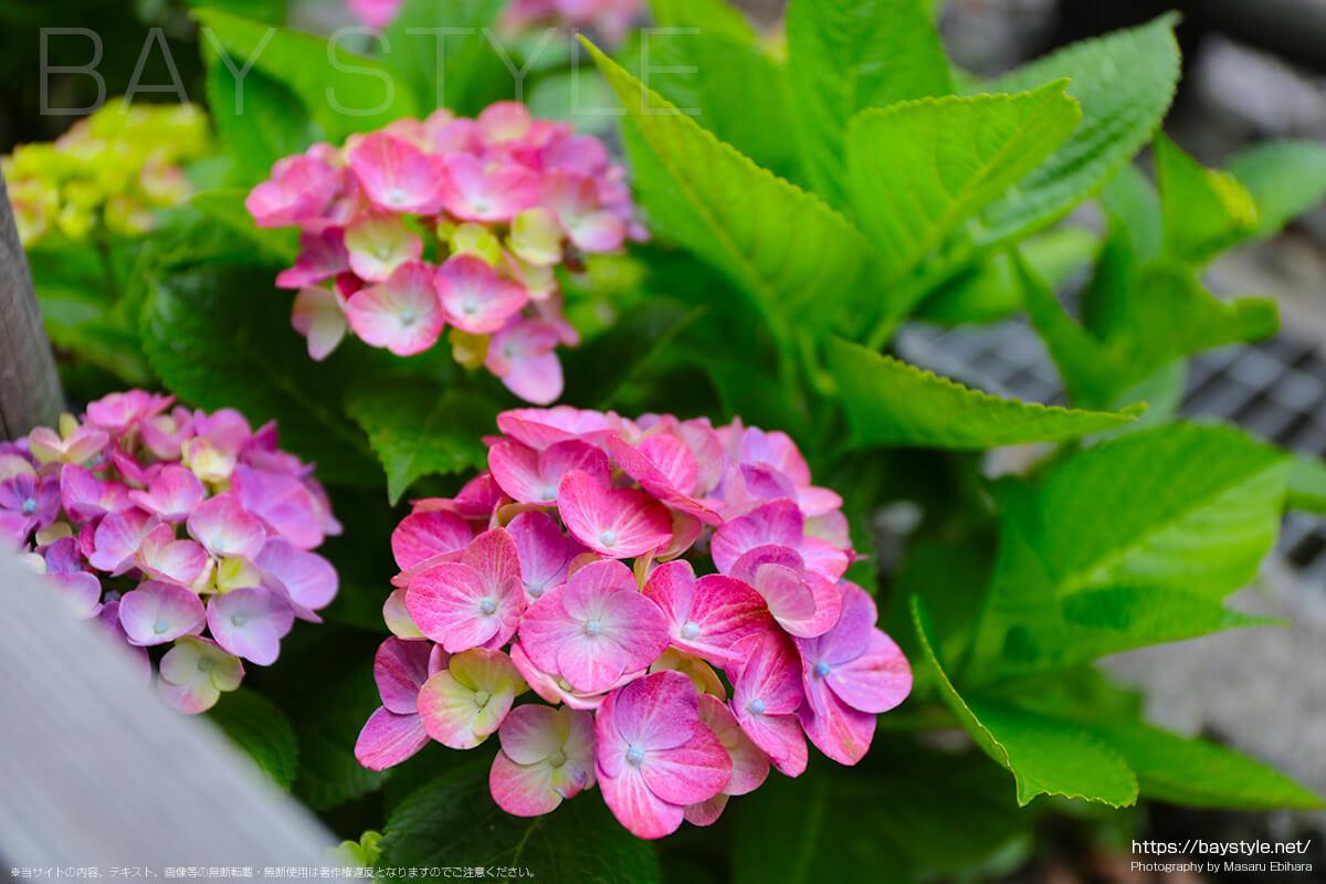 御霊神社前の線路沿いに咲くあじさい
