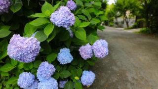 ブルーと紫のツートンカラーのあじさい