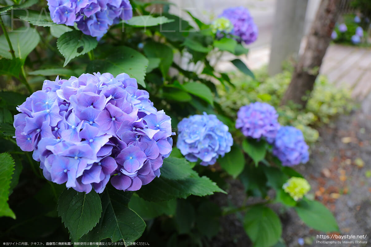 荏柄天神社の参道に咲くあじさい