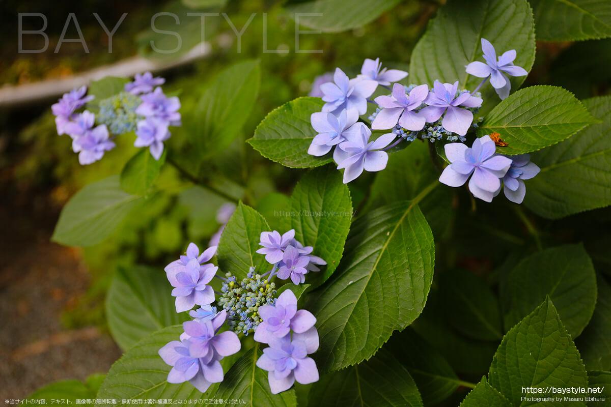 荏柄天神社の境内に咲くあじさい