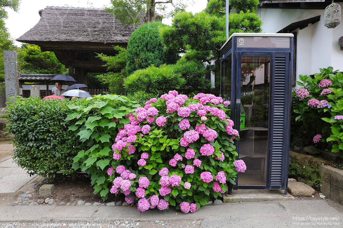 極楽寺山門前のあじさいと電話ボックス