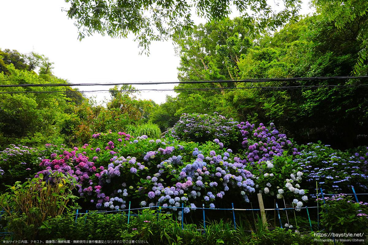 6月中旬の極楽寺駅前に咲くあじさい