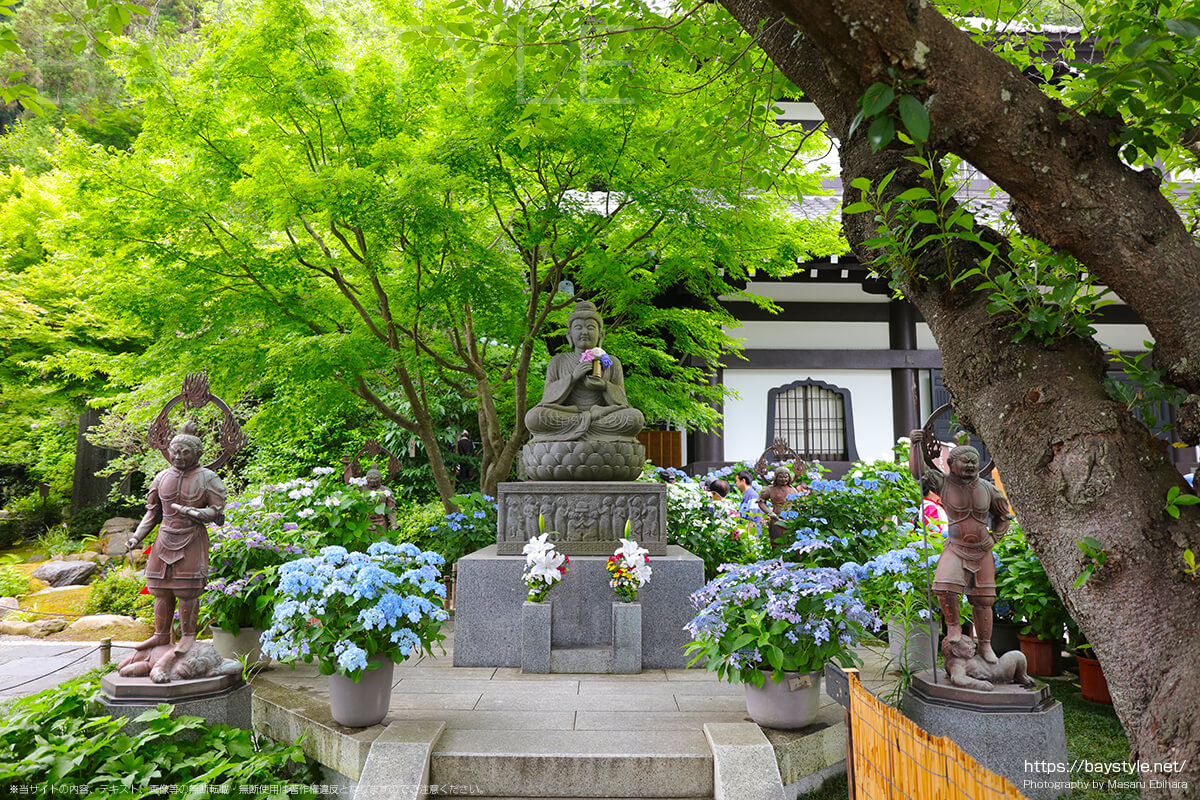 見頃をむかえた6月中旬の長谷寺のあじさい