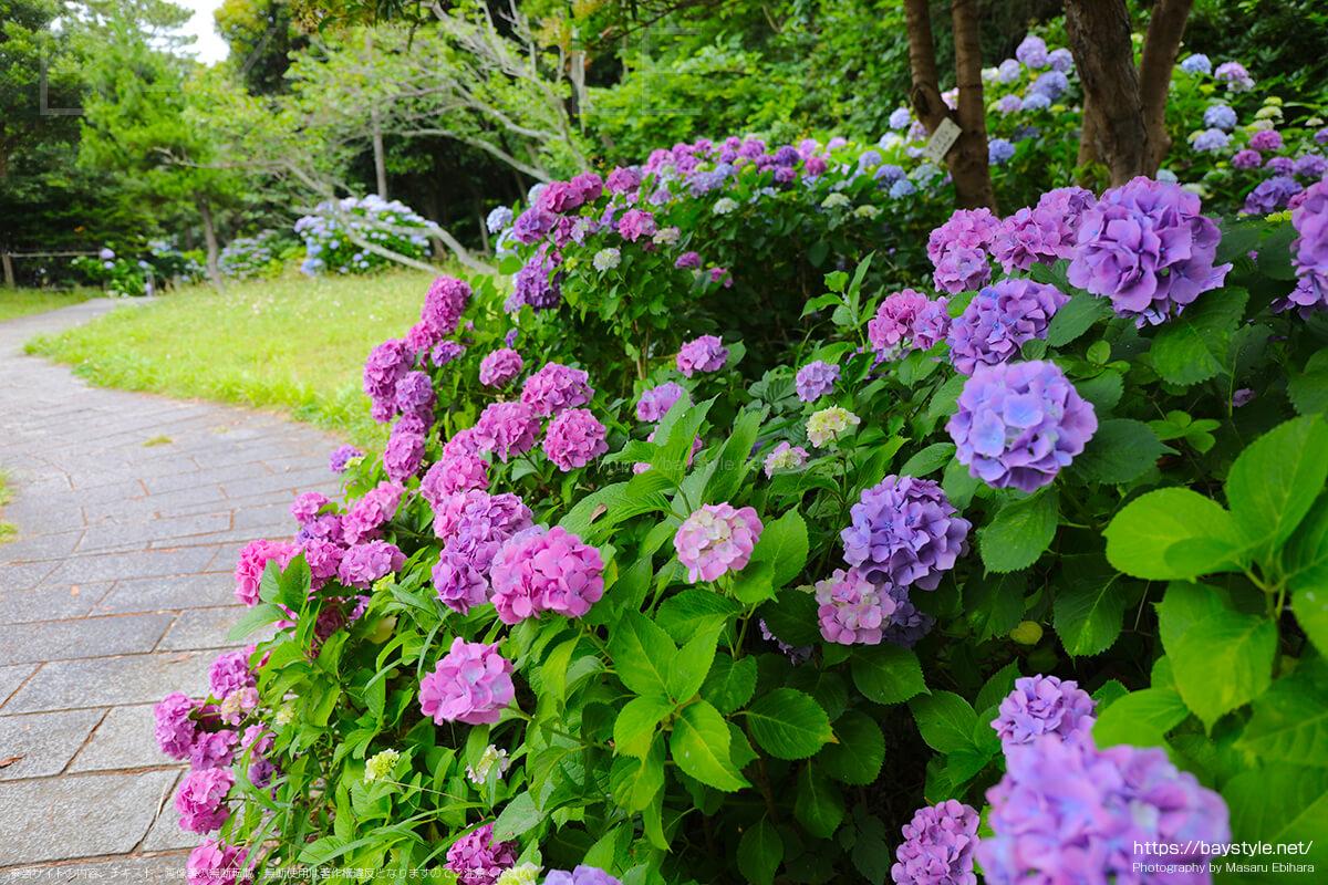 6月中旬の雨の日に撮影した稲村ヶ崎公園のあじさい