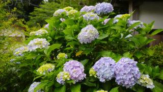 覚園寺の山門に咲くあじさい