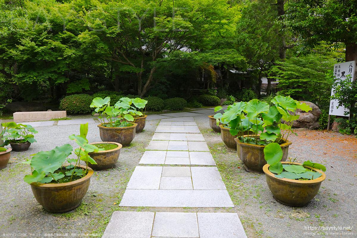 覚園寺の蓮