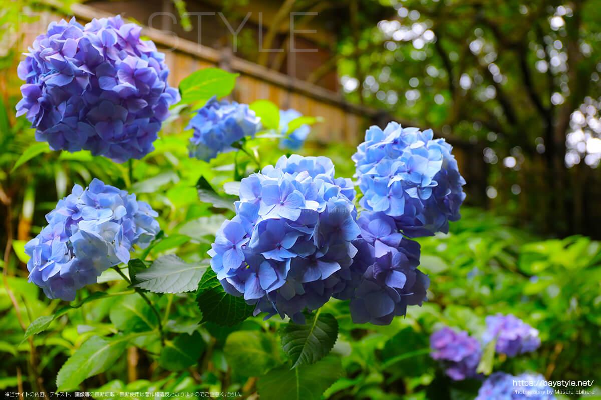 仁王門周辺に咲くあじさい