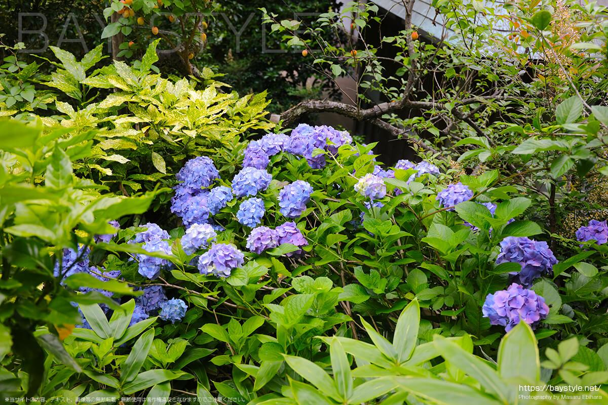 苔階段の隣にある階段に咲くあじさい