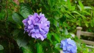 熊野権現堂と白山権現堂の鳥居と観音堂の間に咲くあじさい