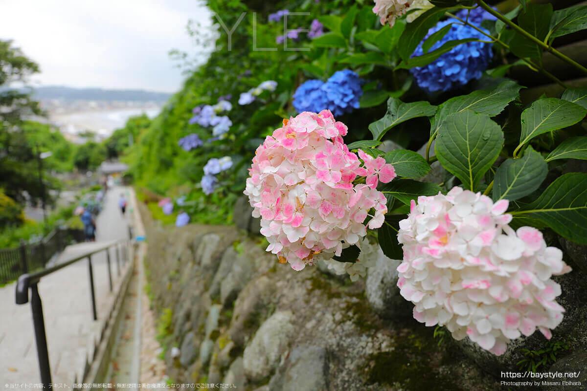 白い花びらにピンク色が混ざるあじさい