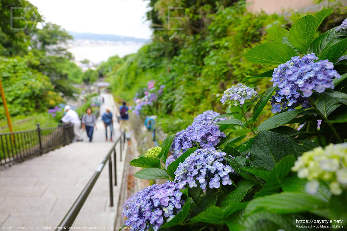 境内付近の参道に咲くウズアジサイ