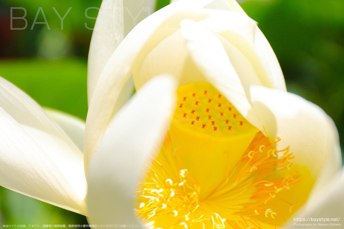 覚園寺の境内で咲く蓮の花