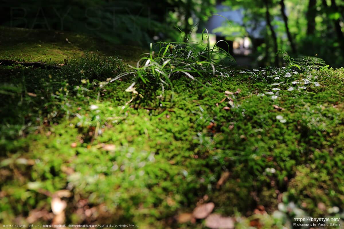 見頃を迎えた妙法寺の苔
