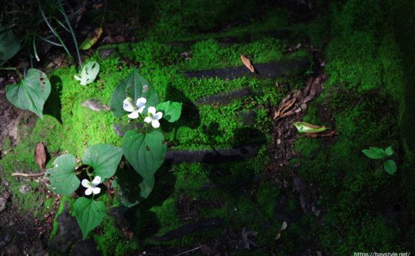 妙法寺法華堂前の苔