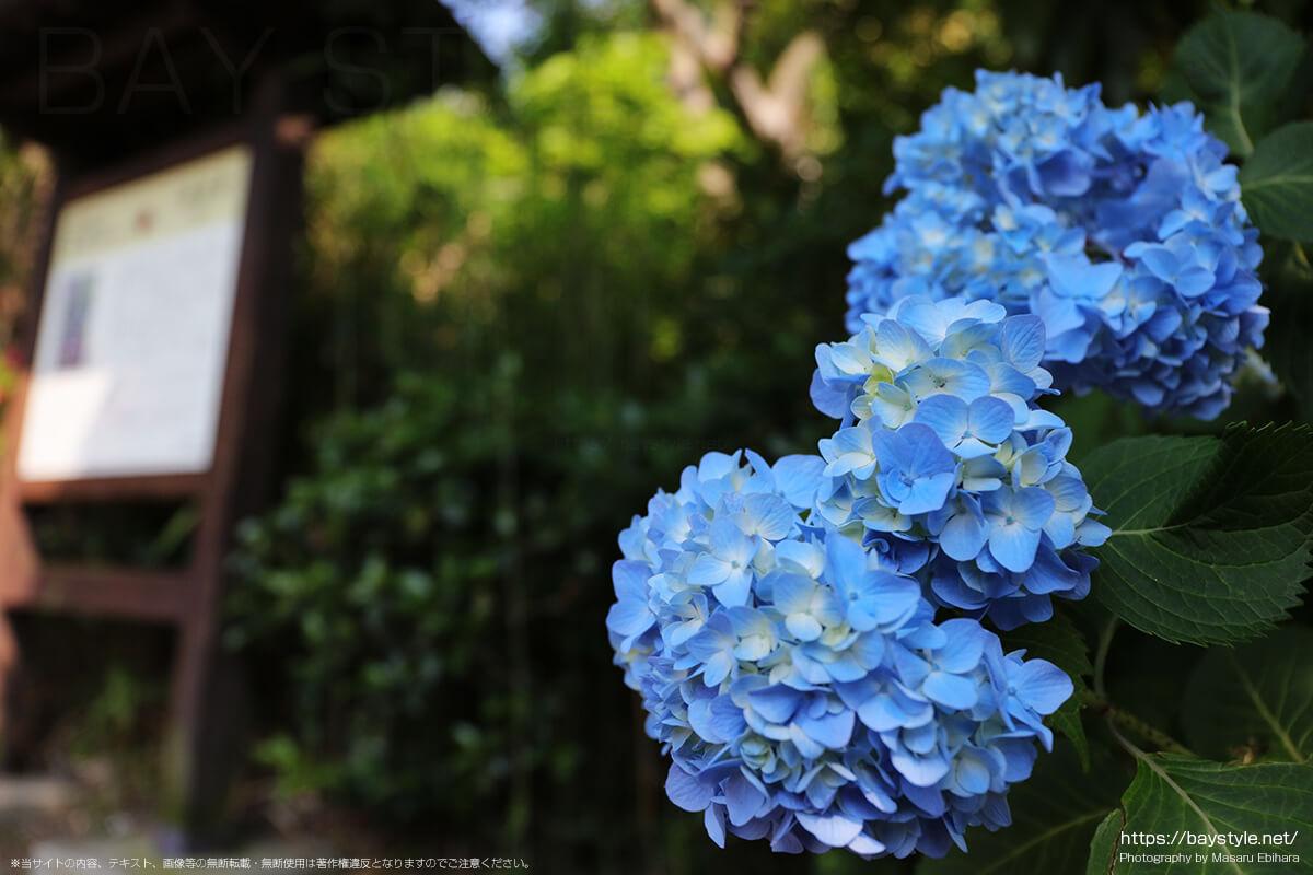 6月上旬の妙法寺のあじさい