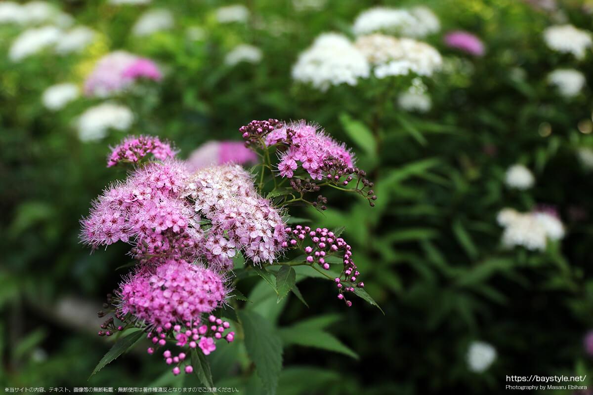 妙法寺の下野の花