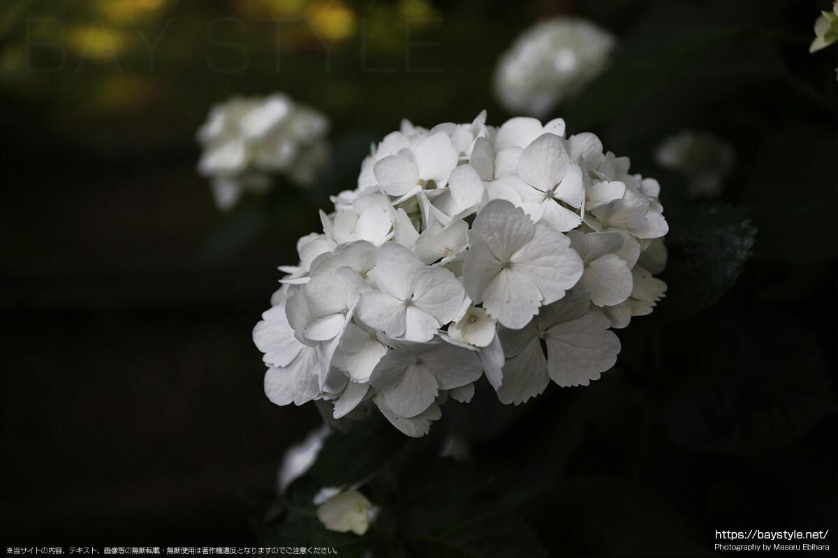6月上旬の鎌倉安国論寺のあじさい